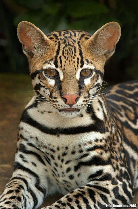 """OZZIE, THE OCELOT""  I wouldn't even feel comfortable unshowerd near him."