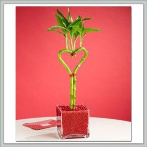 """Teachers Valentine Gift Ideas Valentines Day Lucky Bamboo Heart Shaped Gift 12-14"""" inch live plant. Brings good luck and fortune. Grows in water like cut flowers, but will last for years.  http://awsomegadgetsandtoysforgirlsandboys.com/teachers-valentine-gift-ideas/ Teachers Valentine Gift Ideas"""