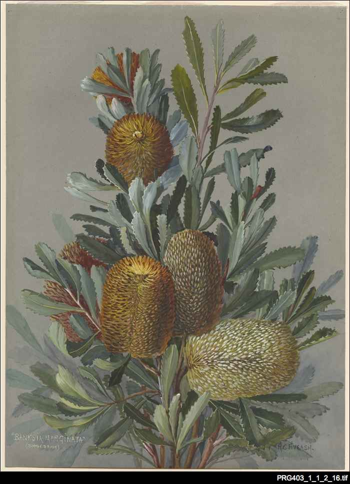 Banksia marginata from Paintings of Australian flowers by Rosa Fiveash, 1937