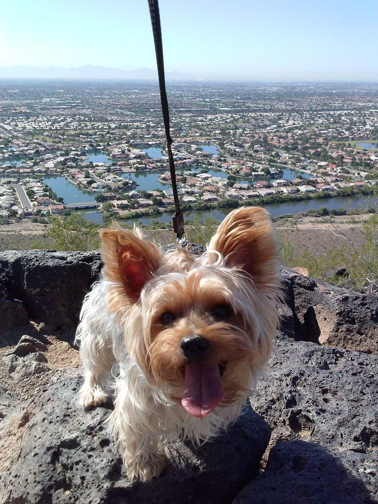 Yorkie Hiking in 2020 Yorkie, Yorkshire terrier