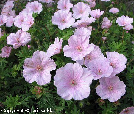 NEIDONKURJENPOLVI -  MATTNÄVA. Geranium sanguineum var. striatum. Kukinnon väri: vaaleanpunainen. Kukinta-aika: heinä-elokuu. Valovaatimus: aurinkoinen. Korkeus: 15 cm. Kestävyys: kestävä. - Minitaimina Korpikankaalta.