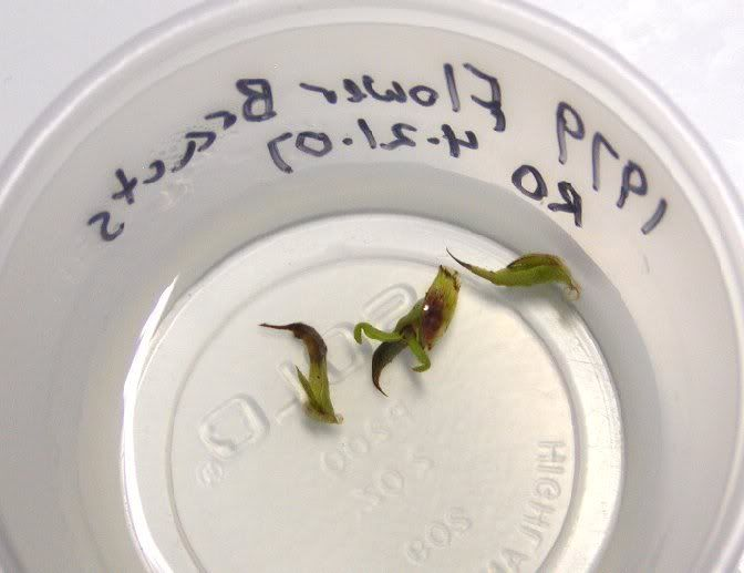 VFT inflorescence propagation [CPUK Forum] - after three weeks in RO water they are budding out