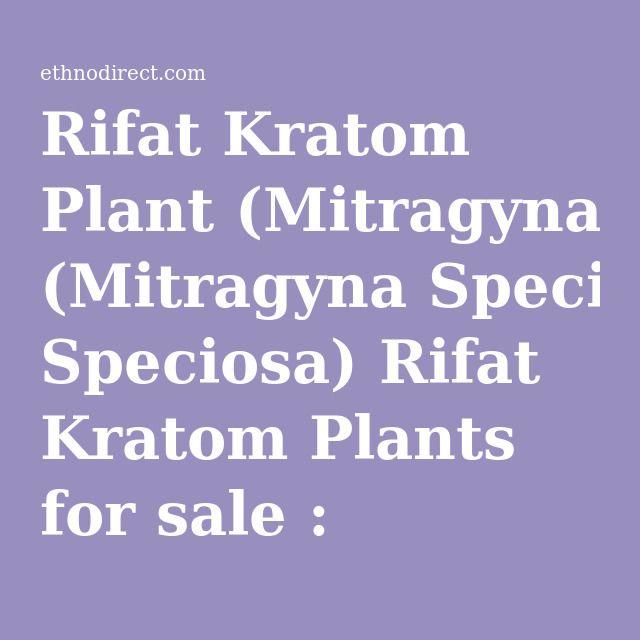 Rifat Kratom Plant (Mitragyna Speciosa) Rifat Kratom Plants for sale : EthnoDirect.com, One Stop Ethnobotanical Plant Shop