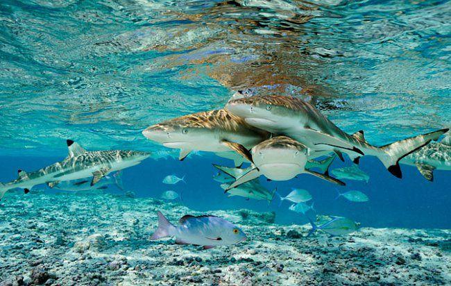Žraloci černoploutví, kranasi modroploutví achňapalové bohar (vpopředí) vneustálé honbě potravou proplouvají mělkou průrvou dolaguny atolu Millennium. Nejzdravější korálové ostrovy nasvětě takové