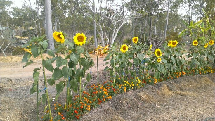 A long colourful row of Sunflowers despite the drought.