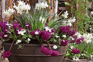 Narcisses, jacinthes, tulipes… Faire durer les potées fleuries - Jacinthes et narcisses en rouge et blanc