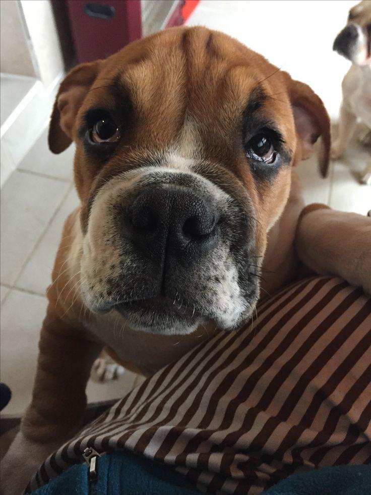 Mocha the english bulldog