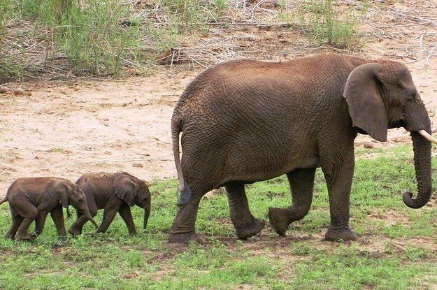 watch the video, it's cute how the babies just roam around and bug all the other elephants ...