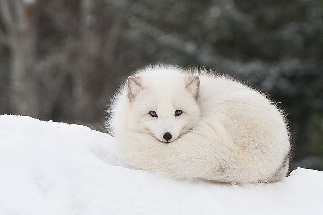 Arctic Fox all curled up