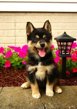 Pomsky Puppies for Sale | Lancaster Puppies