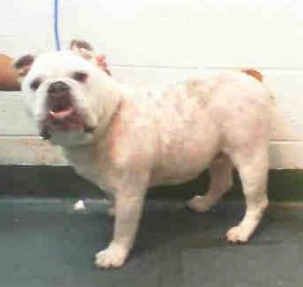 POGI (A1696815) I am a male white and tan English Bulldog. The shelter staff think I am about 3 years old. I was found as a stray and I may be available for adoption on 05/11/2015. — Miami Dade https://www.facebook.com/urgentdogsofmiami/photos/pb.191859757515102.-2207520000.1430951296./973784689322601/?type=3&theater