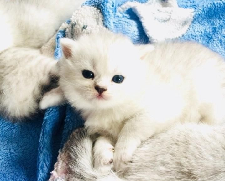 Indescribably Beautiful Baby Cat I Found On Local Craigslist For Salehttps I Redd It Bbmlqy5vezg21 Jpg Baby Cats Cats Beautiful Babies