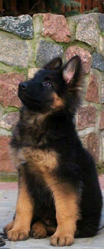 Sooooo ... ein süßer kleiner tapsiger Schäferhund, goldig dieser Wicht zum Verlieben schön! ❤