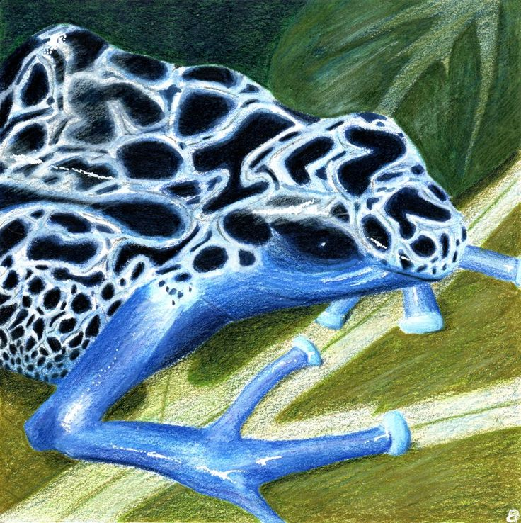 Sunday Sketches – Blue poison dart frog | Gumnut Inspired
