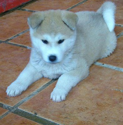 I want an akita inu puppy!