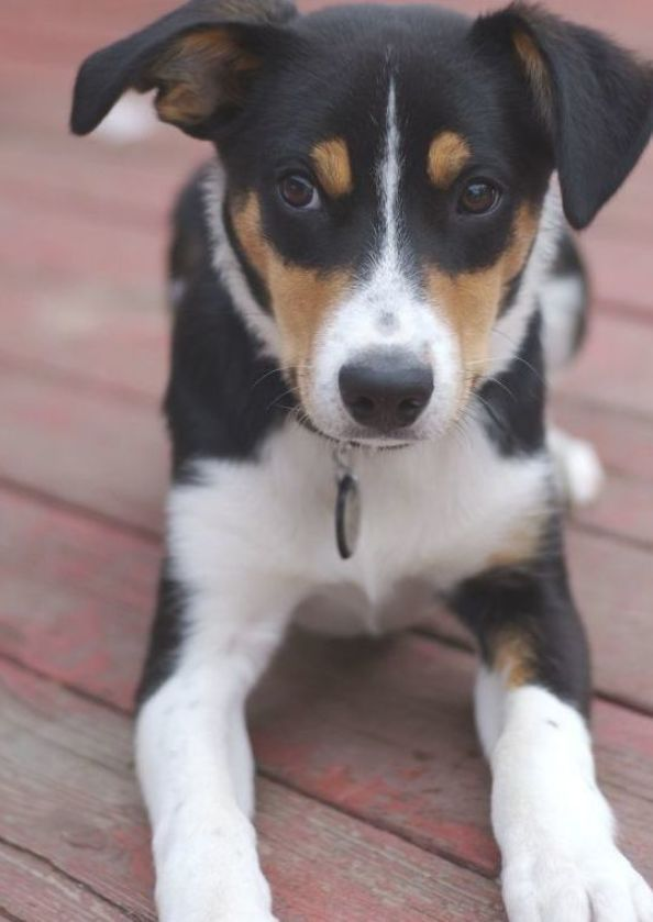 Short Haired Border Collie In 2020 Border Collie Puppies Collie Puppies Short Haired Border Collie