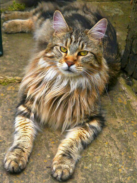 Maine Coon Cat yep I'm going to have another of these cats they are simply amazing