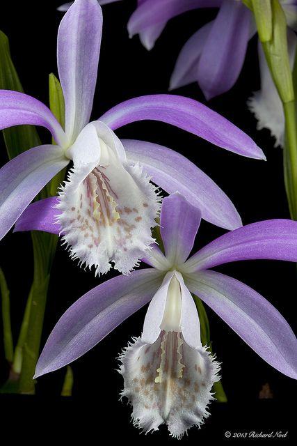Orchidées (Pleione formosana) #fleurs