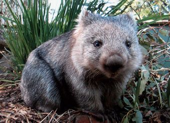 What A Cutie!!! Little Wombat :-)