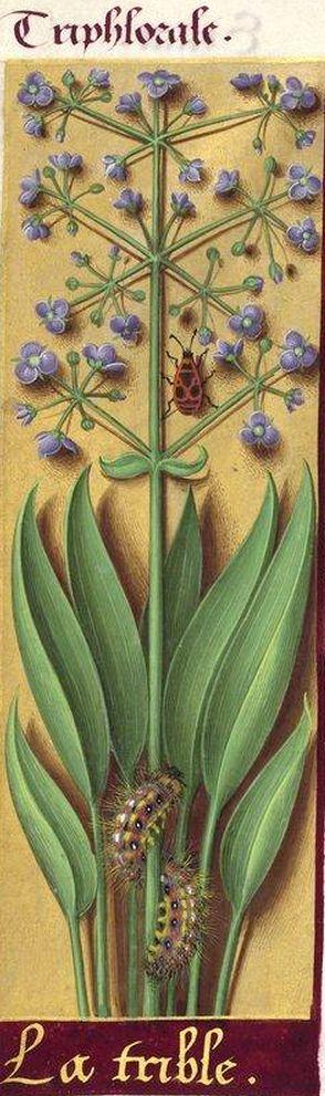 La trible - Triphlorale (Alisma Plantago L. = plantain d'eau) -- Grandes Heures d'Anne de Bretagne, BNF, Ms Latin 9474, 1503-1508, f°217v