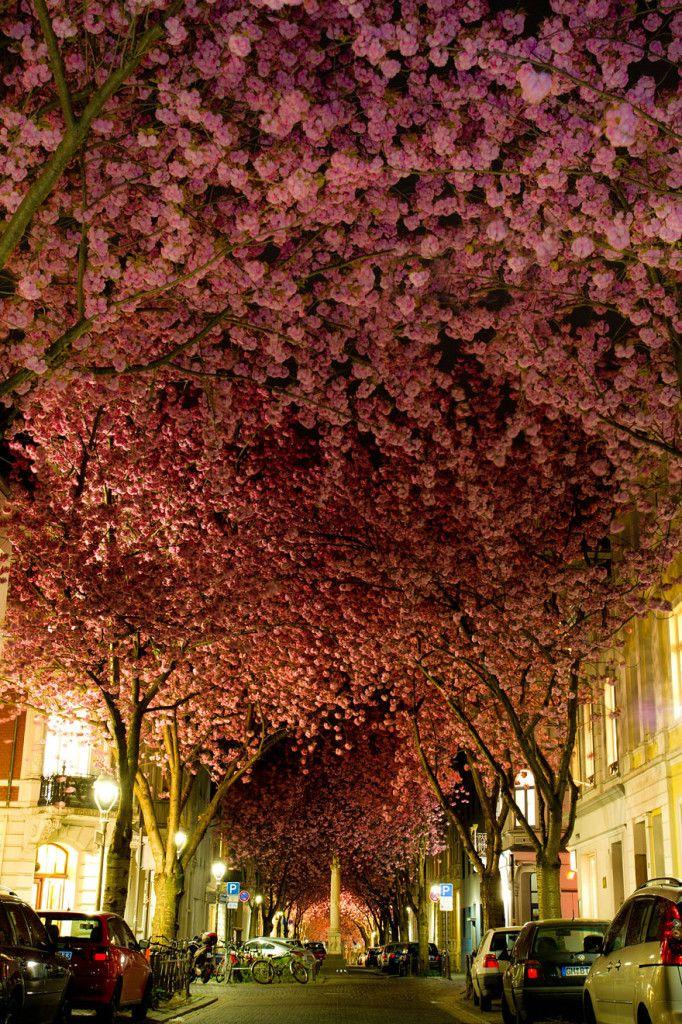 Bonn, Allemagne Cette rue est célèbre pour ses cerisiers en fleurs, cette ville est l'une des plus ancienne d'Allemagne.