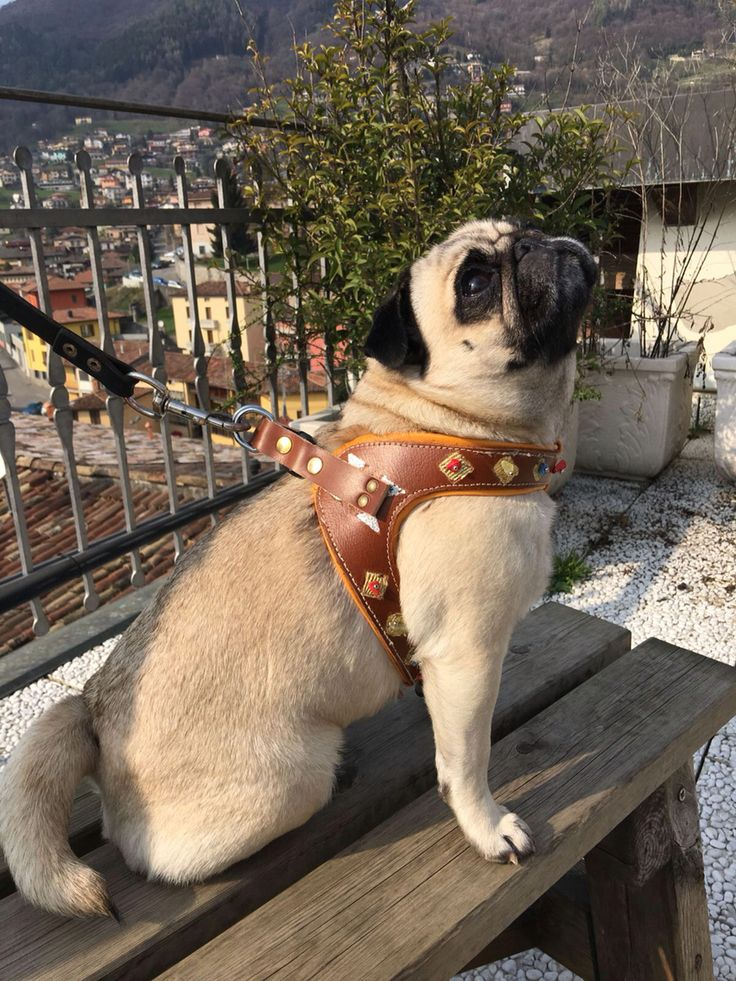 Luxury Pug' s harness 'Sam'collection by CaveCanemItaly