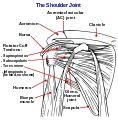 Diagram of the human shoulder joint  https://en.wikipedia.org/wiki/Acromioclavicular_joint