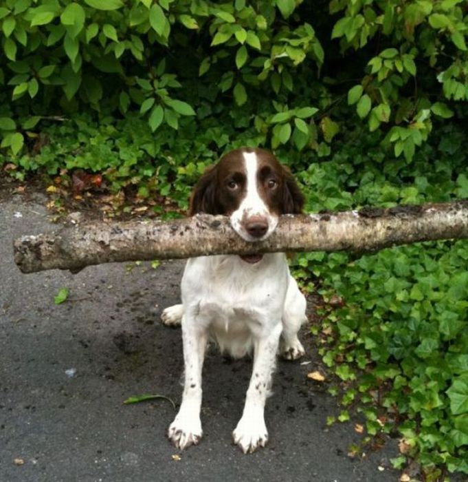 """If this puppy was black and white he could have been our Bentley, who carried a """"log"""" like that all the way back to our deck but couldn't make it through the deck entry. The log was too big. He was soooooo cute and he tried so hard to figure it out. We still smile even though it was about 20 years ago."""