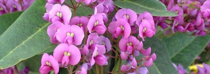 sarsaparilla vine  Hardenbergia violacea  fine scrambling hardy vine; deep purple pea flowers in late winter; will cover lattice-work