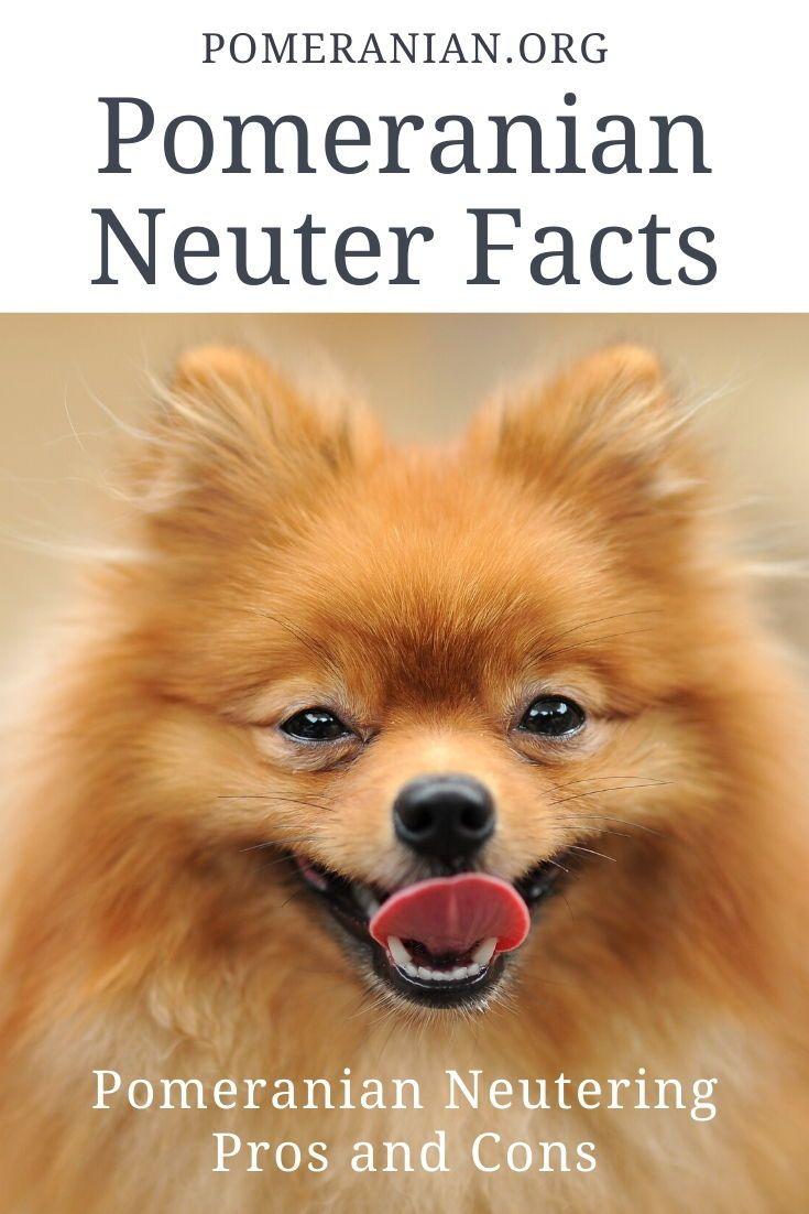 Pomeranian Neuter Facts Pomeranian Dog Pomeranian Neuter