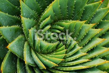 Cactus Background (Aloe Polyphylla) Royalty Free Stock Photo