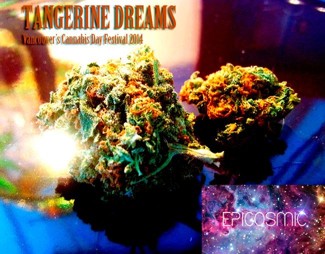 Tangerine Dreams is a beautiful sativa with a light, citrus smell and airy high. [Photography by EpiCosmic]