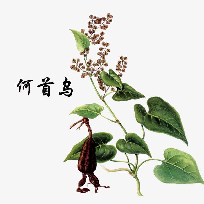 Polygonum Multiflorum Thunb Chinese Herbal Medicine Herbal Medicine Herbalism