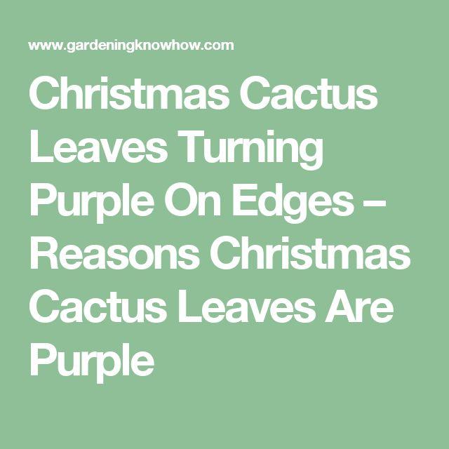 Christmas Cactus Leaves Turning Purple On Edges – Reasons Christmas Cactus Leaves Are Purple