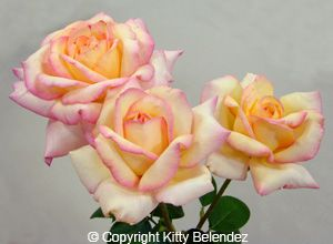 """'Peace' : read the story of the development and naming of the """"most popular rose of the 20th century"""","""
