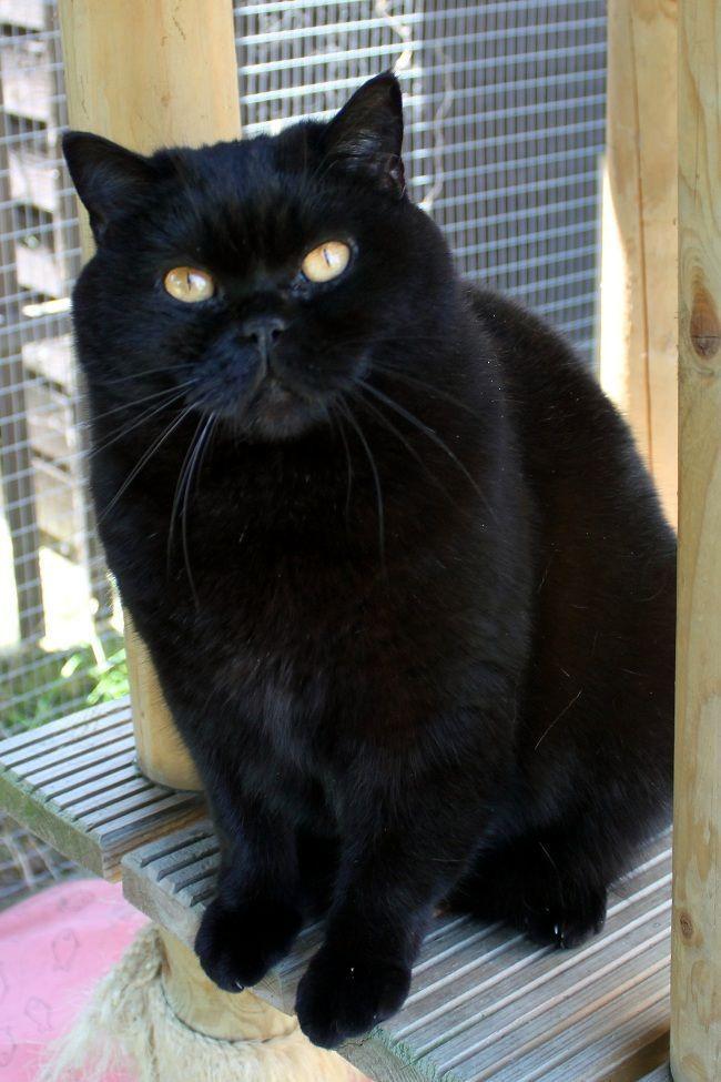 Black British Shorthair Cats British Shorthair Ideas Of