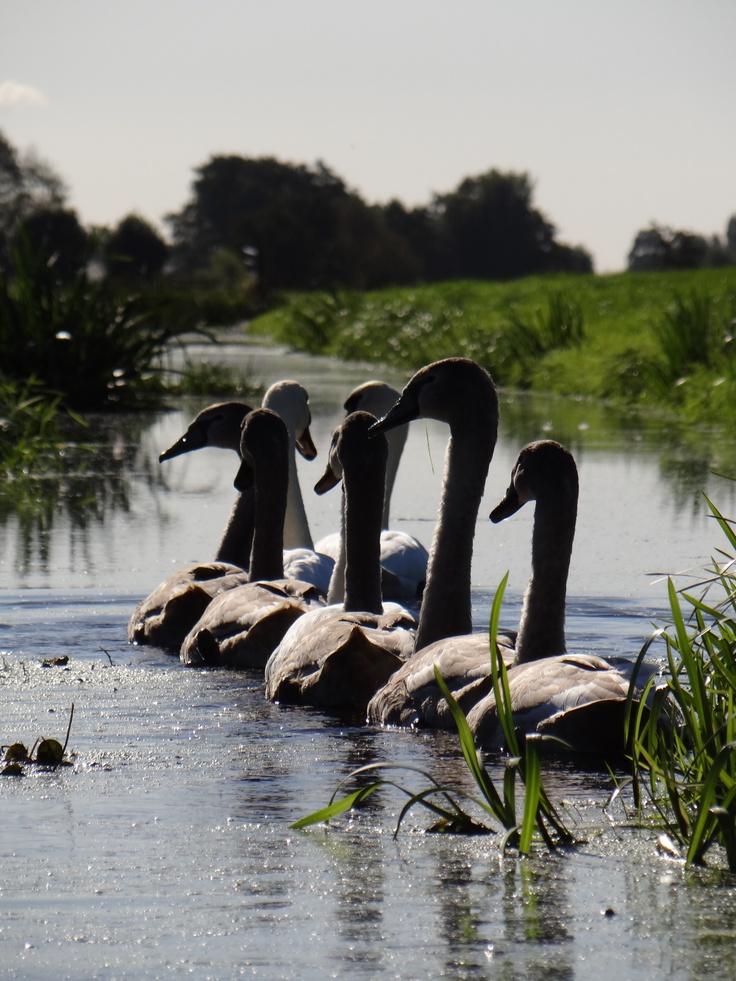 Swans at 't Beijersche