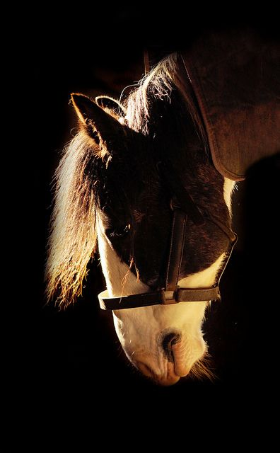 Clydesdale Portrait of 'Jack'