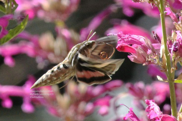 Many people have seen these 'hummingbird moths' and mistook them for actual hummingbirds. Easy to…