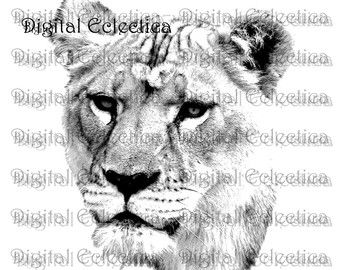 lioness line drawing | Lioness Head Drawing Lioness lion engraving.