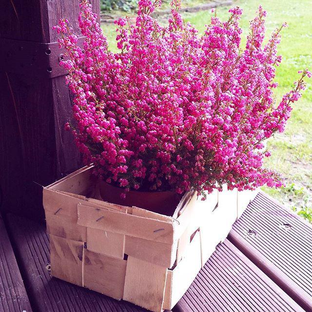 Pozostałość po letnich smakowitościach wykorzystana ✔😉 #szybkaakcja 🍓🍓🍓🍓🍓🍓🍓🍓🍓🍓🍓🍓🍓🍓🍓🍓🍓🍓🍓 #truskawki  .   #gardeninspiration #garden #ogród #ogrodoweinspiracje #inspiracja #wrzesień #wrzos #wrzospospolity #wrzosy #callunavulgaris #drewno #altana #wooden #autumn