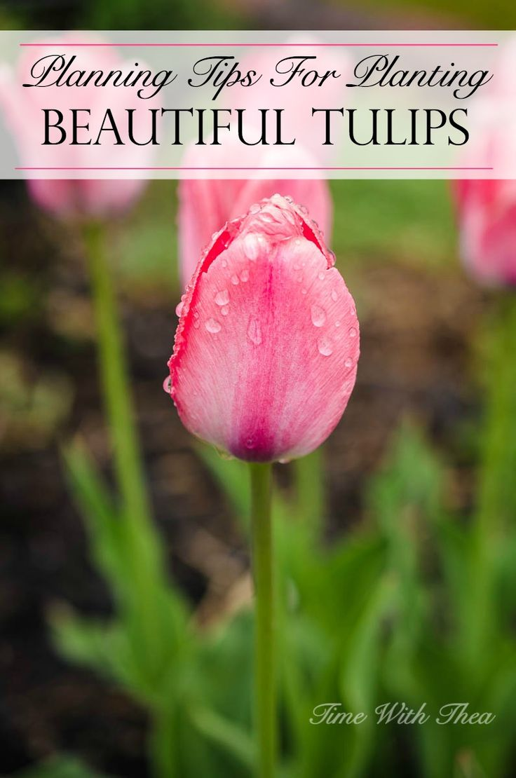25 best when to plant tulips ideas on pinterest when to plant planning tips for planting beautiful tulips dhlflorist Gallery