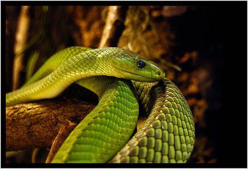 Las serpientes NO atacan a seres humanos, a no ser que sean provocadas o perturbadas. Para matar a sus presas antes de ingerirlas,  algunas serpientes utilizan veneno, que en muchos casos son altamente tóxicos. Estas son las 5 serpientes más venenosas del planeta