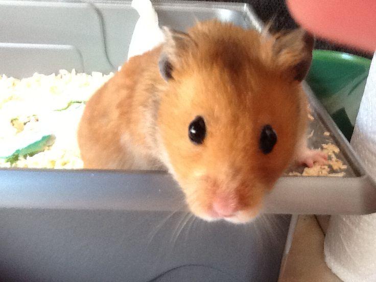 My x-pet hamster Hammy Hammelizabeth!!! RIPxxx