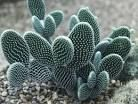 Opuntia microdasys - Google Search