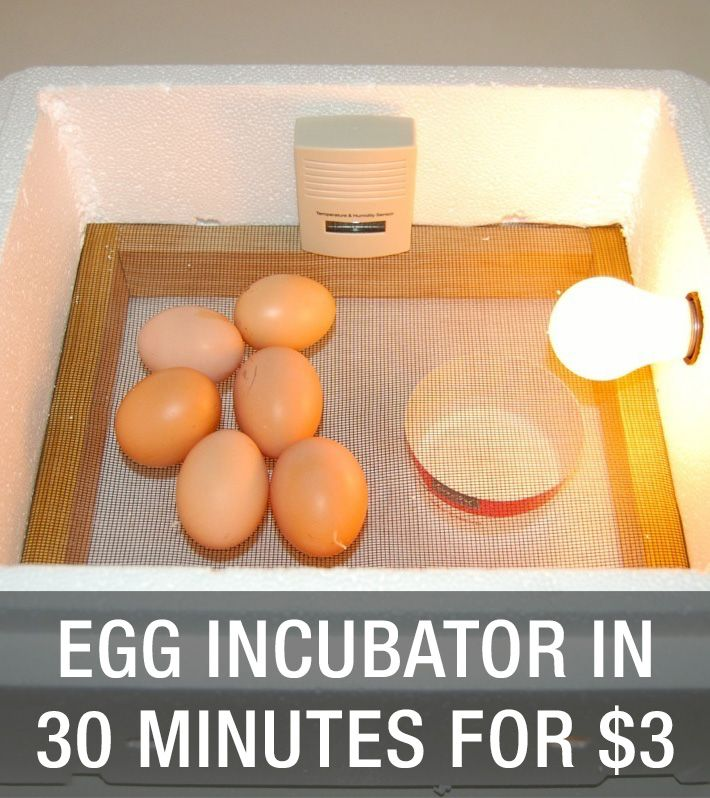 Create An Egg Incubator In 30 Minutes For $3: http://www.mychickencoop.net/create-egg-incubator-30-minute/ #egg #incubator #diy #cheap