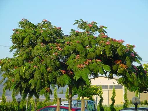 1000 ideas about albizia julibrissin on pinterest for Arboles jardin hoja perenne