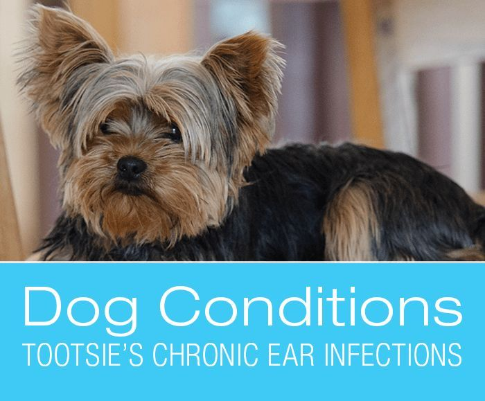 Chronic Ear Infections Tootsie S Story My Dog S Symptoms Ear Infection Dogs Ears Infection Dog Health