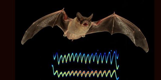 Pour ne pas se faire voler leur proie, certaines chauves-souris envoient un signal qui sature le sonar de leurs rivales. Fourbe !