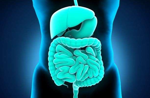 πεπτικό σύστημα έντερα στομάχι συκώτι ανατομία